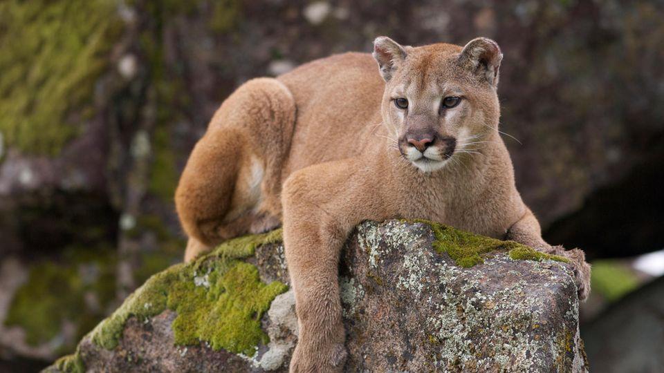 Ein Puma liegt auf einem Felsen