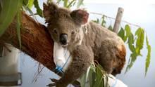 Auf einem mit einem weißen Handtuch umwickelten Ast sitzt ein Koala und schaut in die Kamera