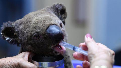 Ein dehydrierter Koala bekommt mit einer Spritze etwas zu Trinken