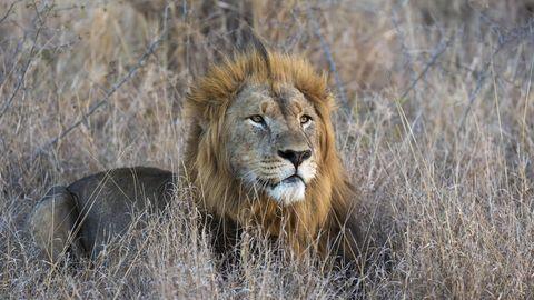 Südafrika: Verstümmelte Löwen auf Jagd-Farm entdeckt