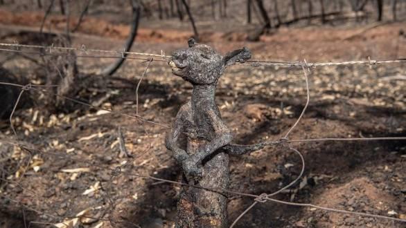 Verkokeltes Känguru zwischen Stacheldraht verfangen