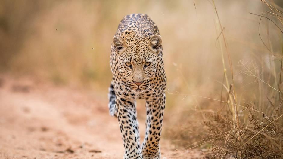 Ein Leopard läuft einen Pfad entlang
