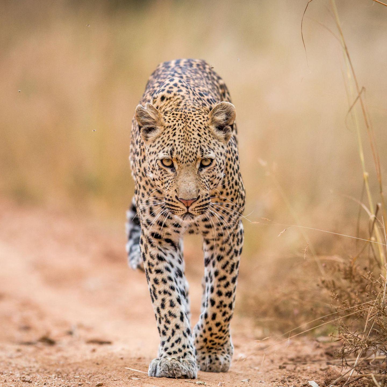 In Nepal gab es einen Angriff durch einen Leopard auf einen Jungen ...