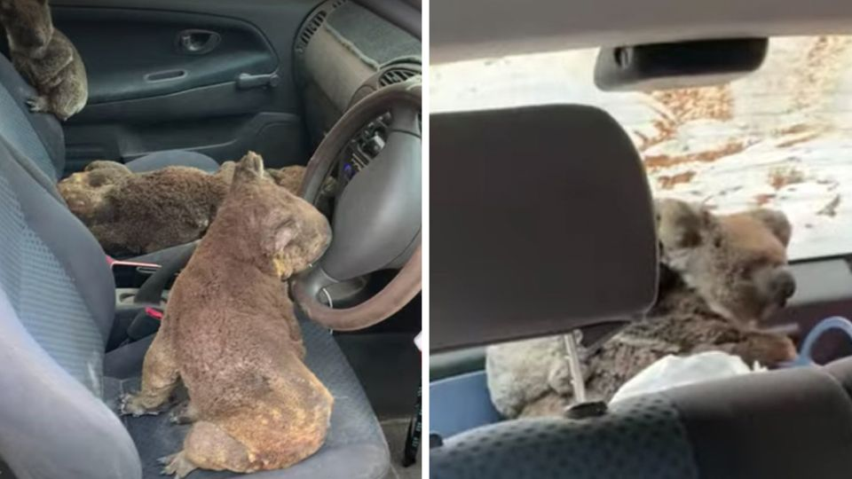 Sechs Koalas sitzen im Auto auf den Polstern