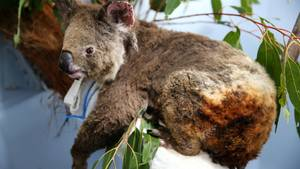 Verletzer Koala