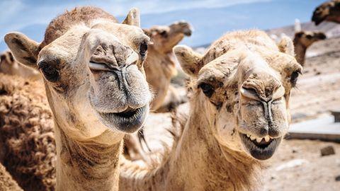 Kamele gelten in Australien als Plage, weil sie Quellen verunreinigenund bei der Futtersuche die natürliche Flora zertrampeln
