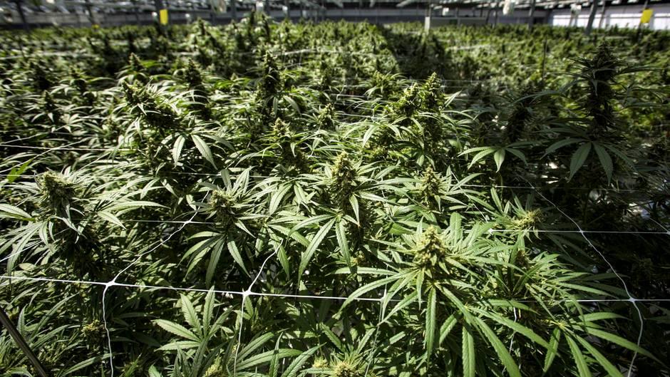 Hanfplantage in Kanada