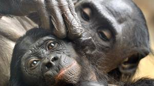 Im Zoo von Frankfurt am Main sitzen zwei Bonobo-Affen und betreiben Fellpflege