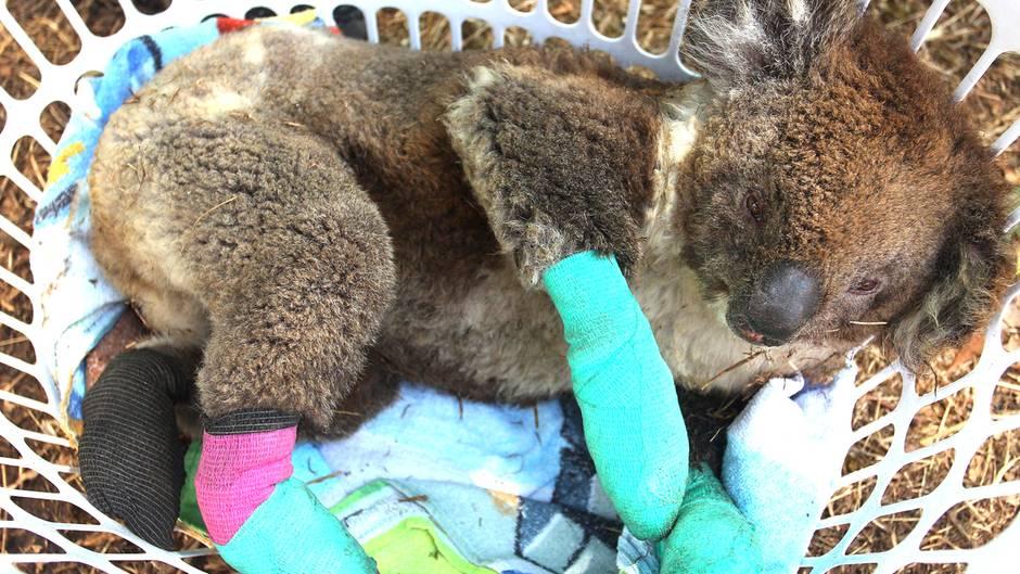 30.000 Tiere im Feuer gestorben: Die Koalas von Kangaroo Island kämpfen ums Überleben