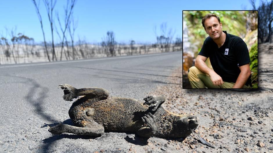 Australien, Adelaide: Ein Koala, liegt nach den Buschfeuern tot am Straßenrand