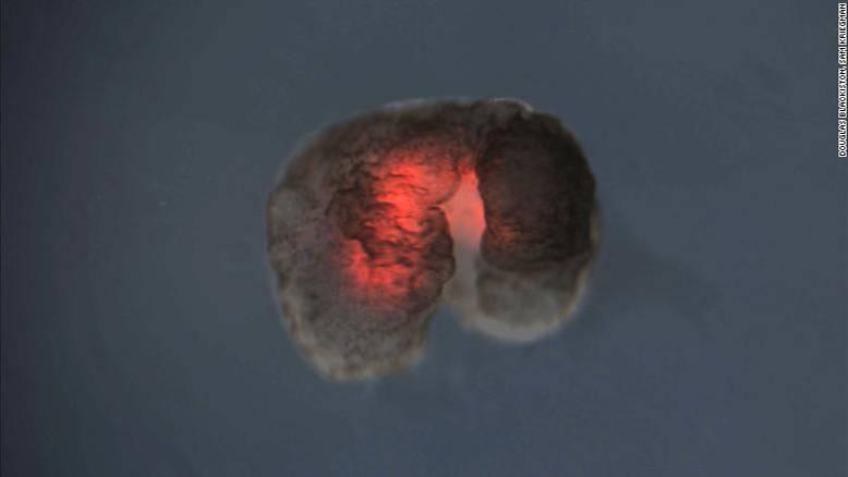 Ein Xenobot mit einem großen Vorder- und einem kleinen Hintergliedmaß. Die roten Zellen stammen aus dem Herz eines Frosches, die dunklen aus der Haut