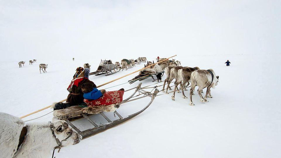 Die Nenzen ziehen mit ihren Rentieren durch die Arktis