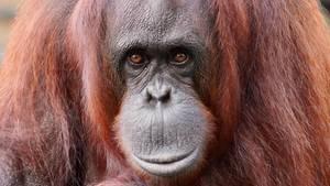 Orang-Utan-Dame beschützt Zoobesucherin, die gerade ihr Baby stillt