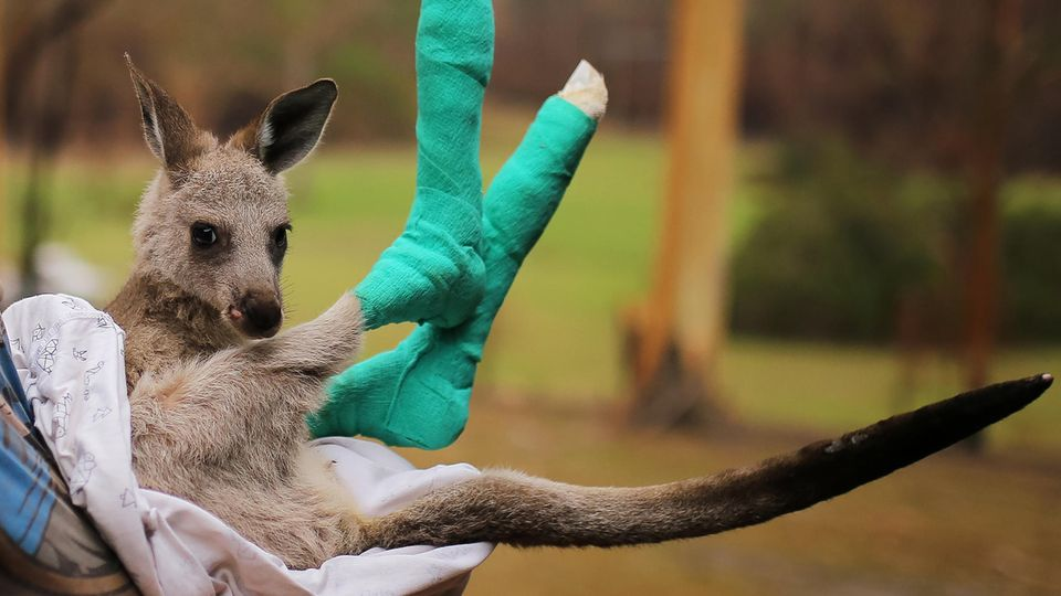 Känguru mit badagierten Pfoten