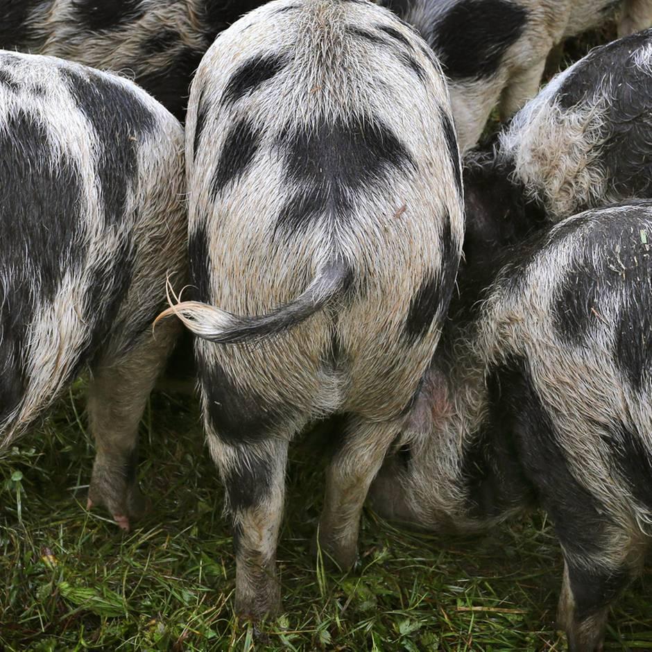 Lubin in Polen: Hausschweine fressen Landwirt auf – Zustand der Leiche macht Klärung von Todesursache unmöglich
