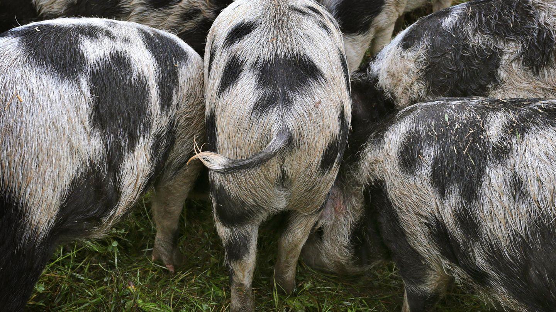 Polen: Hausschweine fressen Landwirt auf