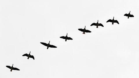 Wildgänse fliegen am trüben Himmel über der Lausitz