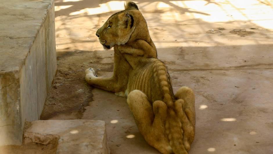 Ein abgemagerter Löwe in Khartum, Sudan