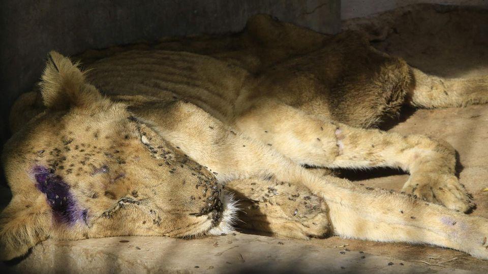 Ein Löwe schläft im Zoo von Khartum, Sudan