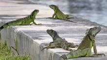 Florida Leguane