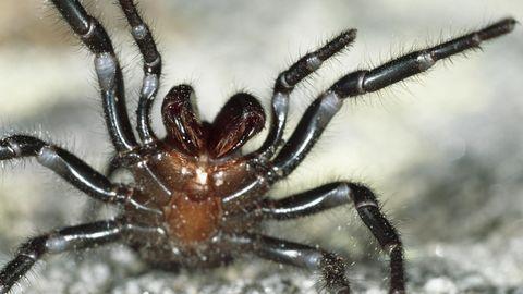 Auf Sand richtet eine schwarz-braune Spinne ihre Vorderbeine drohend auf