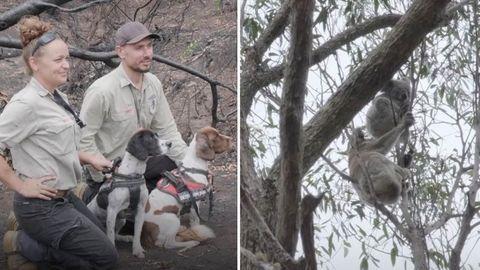Mit Hilfe von Jagdhunden werden hilflose Koalas aufgespürt