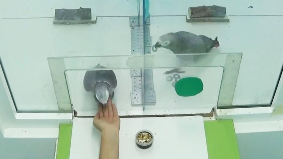 Graupapageien verblüffen mit Sozialverhalten: So selbstlos sind die Vögel