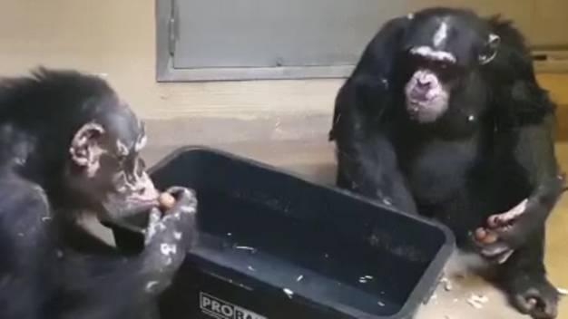 Krefelder Zoo: Nach Feuer im Affenhaus: Video zeigt, wie es den Schimpansen heute geht