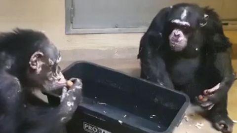 Nach Feuer im Affenhaus: Die Schimpansen Bally und Limbo erholen sich gut.
