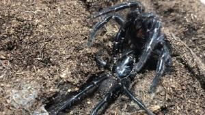 Trichternetzspinne in Australien