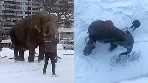 Zirkuselefanten entlaufen in die Freiheit – doch die ist nur von kurzer Dauer