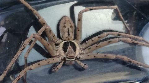 Eine große Spinne mit sehr langen Beinen