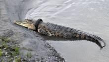 Das Krokodil trägt den Motorrad-Reifen vermutlich schon drei Jahre