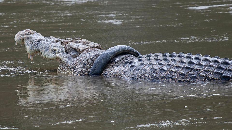 Krokodil mit Reifen um den Hals schwimmt im Wasser