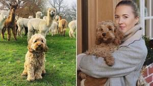 Nugget Nielsen: Süßes Hündchen mit Alpakas in Deutschland großgezogen