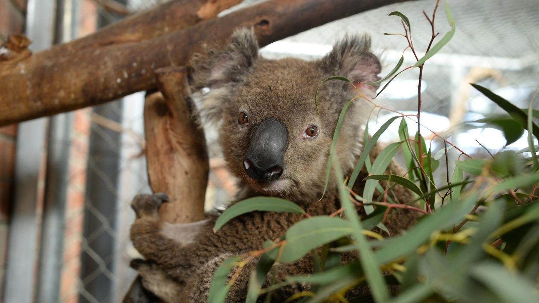"""Koala Ian sitzt auf einem Baum im """"Fünf-Sterne""""-Quartier in Canberra"""