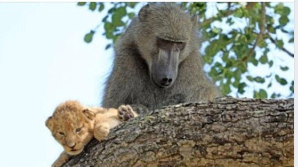 Ein Pavian und ein Löwenjunges beugen sich über einen Ast