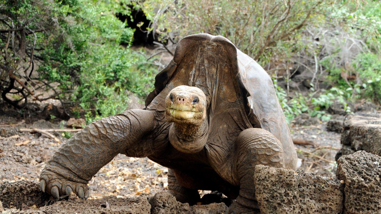 Die Riesenschildkröte Lonesome George