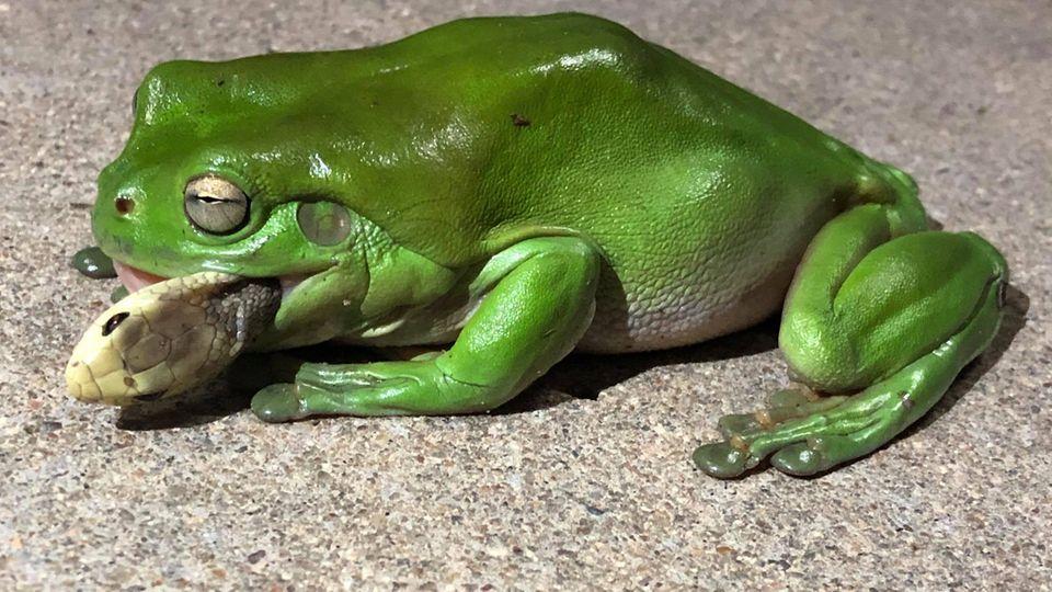Laubfrosch verschlingt Giftschlange