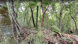 Bedrohte Tierarten in Neuseeland entdecken  Tief im Urwald der neuseeländischen Codfish Island lebt der Kakapo. Der einzige bekannte flugunfähige Papagei ist vom Aussterben bedroht.