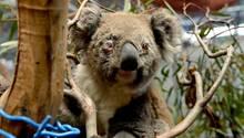Australien: Ein verletztes Koala-Weibchen sitzt auf einem Baumstamm