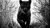 """Black Panther"" by David Yarrow"