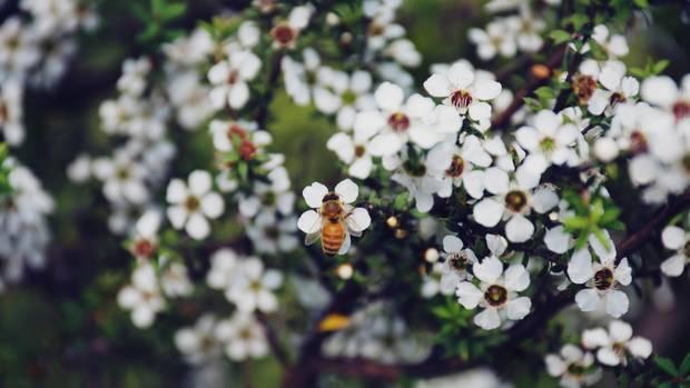 Honigbiene auf Manuka-Strauch