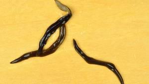 Kleiner Wurm mit großem Appetit: Obama Nungara verändert die Zusammensetzung des Bodens.