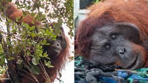 Ein Orang-Utan wird von Tierschützern im indonesischen Ketapang gefangen.