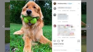 Ein Hund hält sechs Tennisbälle im Maul