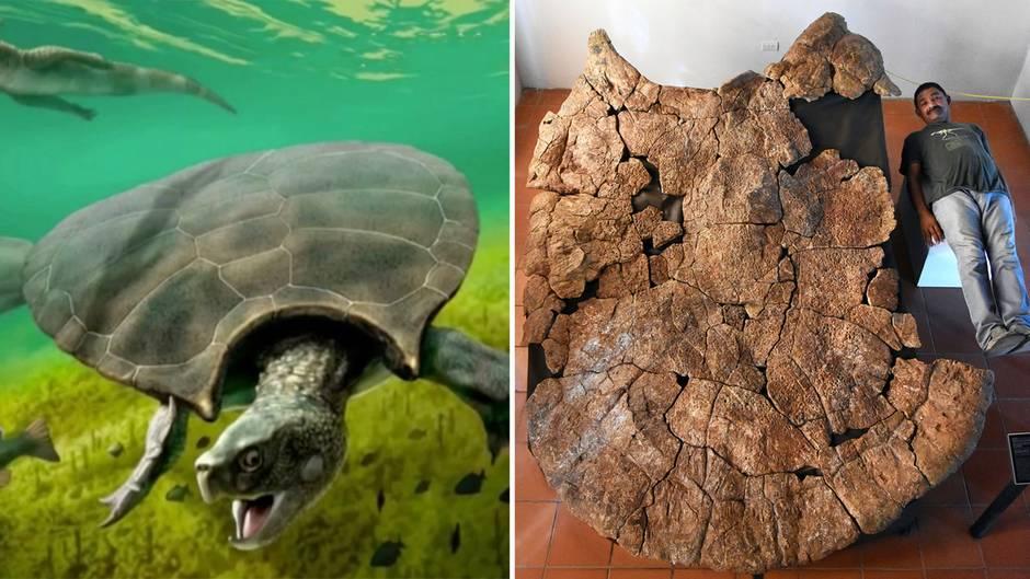 Kolumbien: Forscher entdecken Überreste einer Riesenschildkröte – 4 Meter und 1,25 Tonnen