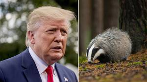 Donald Trump soll ein hohes Interesse an Dachsen zeigen