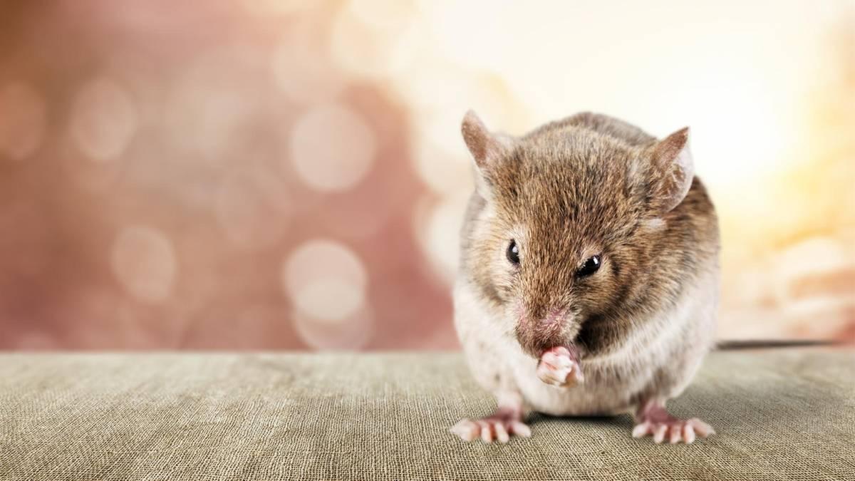 Eklige Masche: Mann schlief umsonst in Hotels - indem er Mäuse hineinschmuggelte