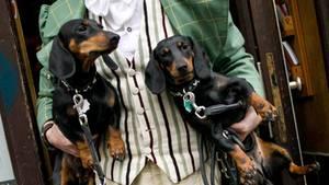 Zwei Dackel werden auf den Händen ihres Besitzers getragen